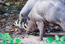 Babirusa Deer-pigs Babyrousa While Looking For Food On A Wet Soil Or Mud.