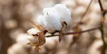 Cotton Plant In The Field