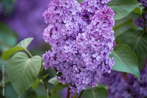 Staande foto Lilac Beautiful purple lilac flowers blossom