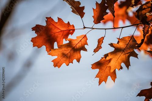 Fototapeta  Eichenblätter im Herbst