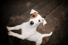 Dog Breed Jack Russell Terrier Stands On A Dark Background