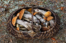 Lots Of Forest Mushrooms Like Boletus Edulis, Red-caped Scaber Stalk, Rough-stemmed Or Birch Bolete In The Wicker Basket.