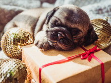 Cute, Sweet Puppy, Sleeping On A Blanket, Gift, Christmas Decorations And Balls On A White Background. Pet Care Concept