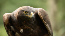 This Golden Eagle In Part Of A...