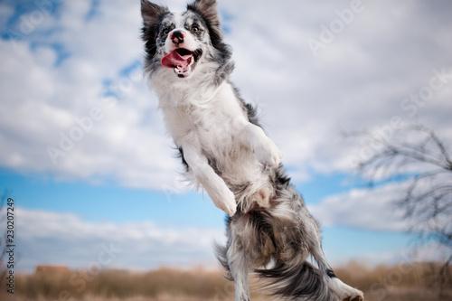 Fényképezés cheerful jumping dog Border Collie the blue sky