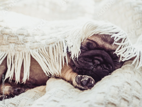 Cute, sweet puppy sitting on a white blanket against the window Canvas Print