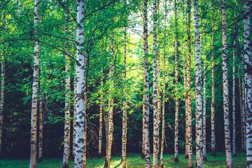 Panel Szklany Podświetlane Inspiracje na wiosnę Summer birch forest view from Sotkamo, Finland.