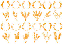 Wheat Or Barley Ears. Harvest ...