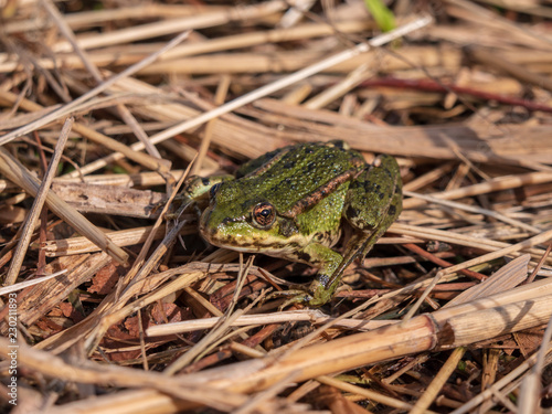 Photo Green frog is sitting among the plant remains in the sun