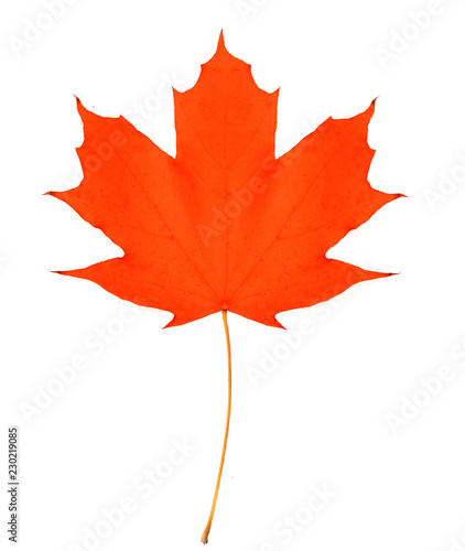 red maple leaf bright on white background