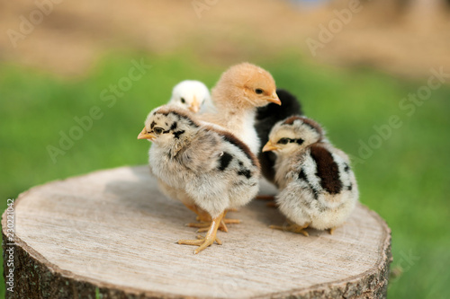 Canvas Print Baby chicks are standing on the log on nature background