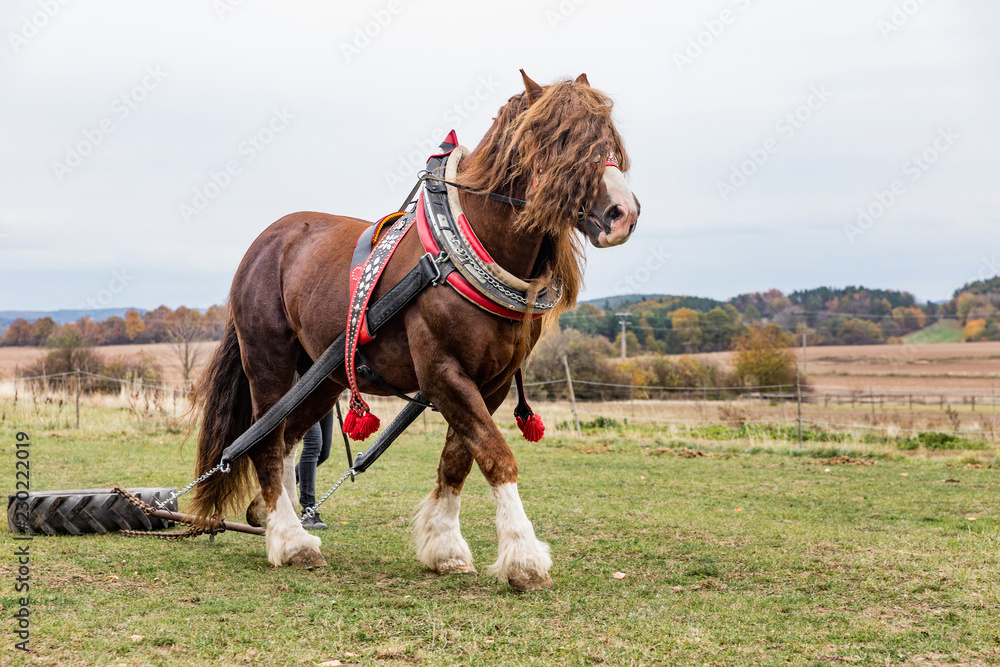 Portrait of a brown stallion Percheron with beautiful mane and harness on autumn land, Czech Republic.