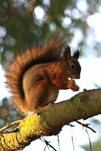 Fox Squirrel Eating Nuts On Th...