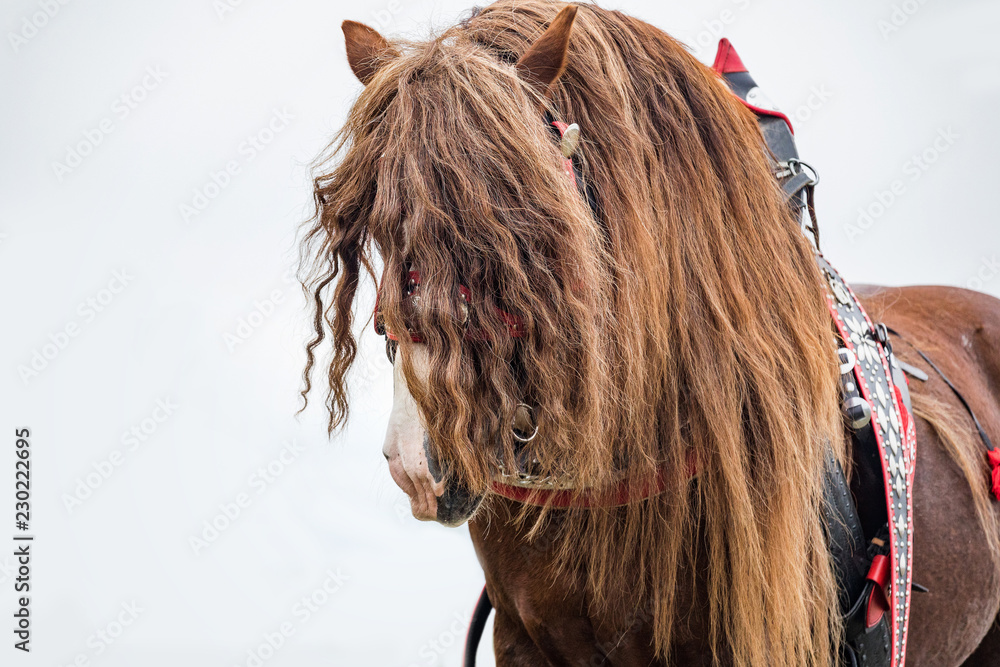 Portrait of a brown stallion Percheron with a beautiful mane and a harness in the stable. Czech Republic.