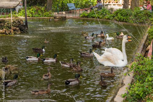 Attard, Malta. Ducks and swans in the gardens of the Palace of San Anton - the official residence of the President of Malta