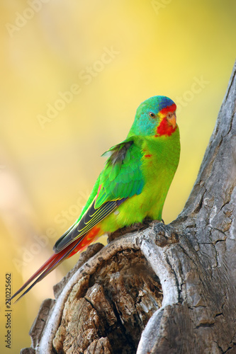 The swift parrot (Lathamus discolor) sitting in the hollow trunk with a yellow background. Green parrot near the cavity.