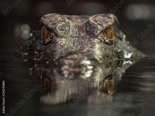 Foto Cuvier's dwarf caiman
