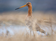 Black-tailed Godwit Posing In Grass With Standing Out Head In Spring
