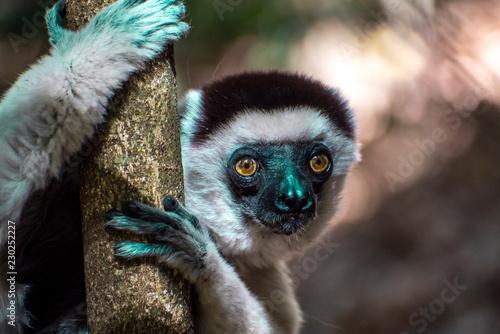 Naklejka premium Dziki lemur sifaka (Verreaux sifaka), portret, endemiczny, rzadki, andangered, Madagaskar.