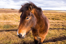 Icelandic Horses. Beautiful Icelandic Horses In Iceland. Group Of Icelandic Horses Standing In The Field With Mountain Background.