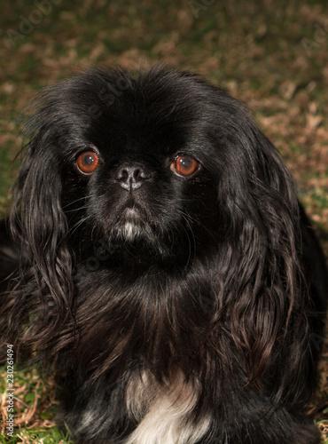 Fotografie, Obraz  Close up portrait of adorable black Pekingese