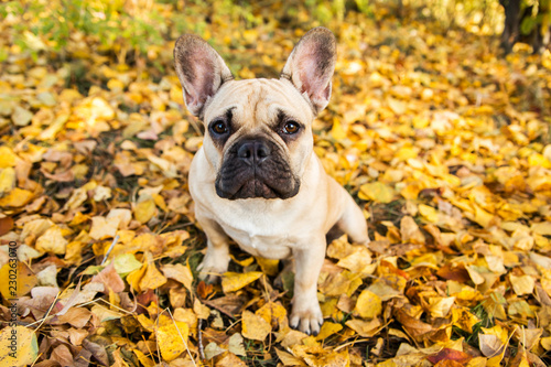 Fotografía  Portrait of a French bulldog of fawn color against the background of autumn leav