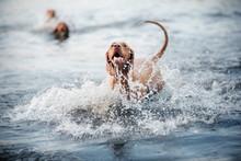 Beautiful Dog Vizsla Shakes Of...