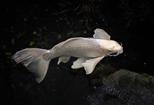 Large White Koi Swimming In A Pond