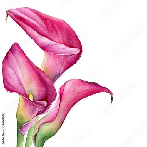 Fotografie, Obraz  Bouquet of pink calla lily Zantedeschia rehmannii flower
