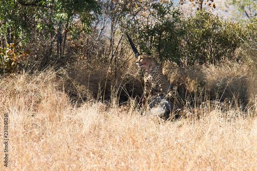"Fotografie, Obraz  Wild Jaguar eating it""s catch between long grass"