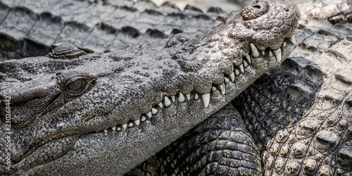 Close up of saltwater crocodile face with teeth. Phuket zoo, Thailand