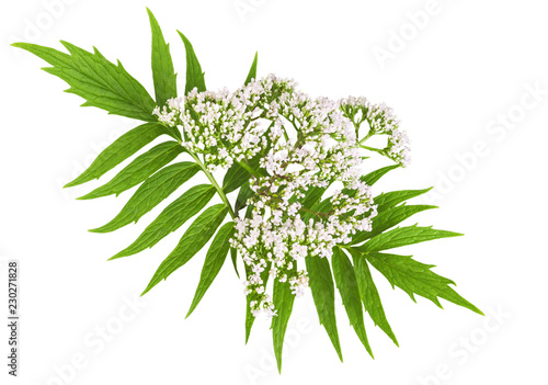 Stampa su Tela  Valerian herb flower sprigs isolated on white background