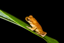 Close Up Golden Tree Frog On Tree.