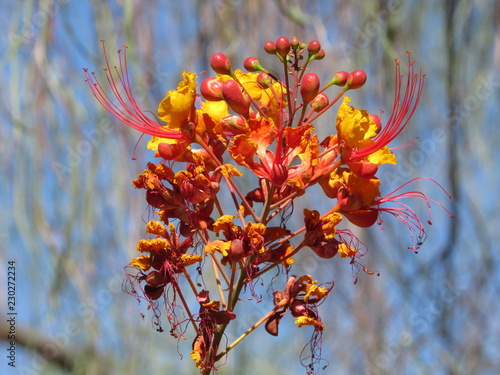 The red bird of paradise plant (Caesalpinia pulcherrima) growing outside in Phoenix, Arizona
