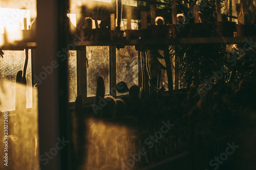 Silhouettes of flowerpots with cactuses on the shelves in the greenhouse under bright yellow autumn sunlight seen through the window. Abstract fall concept. Beautiful day in October