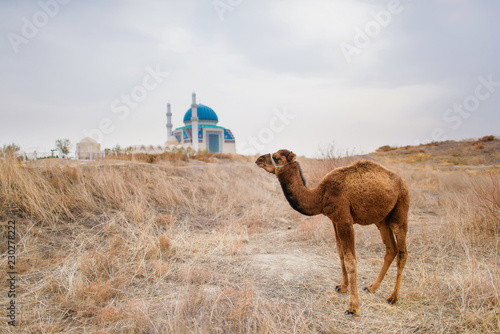 Foto op Plexiglas Kameel Camel on the background of the mosque. Landscapes of Central Asia. Camel in the city of Turkestan in Kazakhstan.