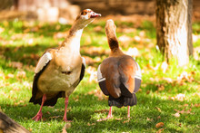 Two Egyptian Geese Or Alopoche...