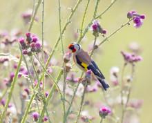 Goldfinch Bird Eating Purple Thistle, The Favourite Food (latin: Spinus Tristis)