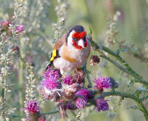 Cuadros en Lienzo Closeup of a Goldfinch bird eating purple thistle, the favourite food (latin: Sp
