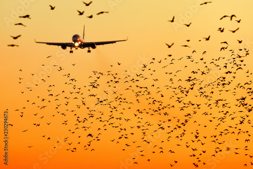 Foto op Aluminium Vogel modern passenger jet engine aircraft landing to airport runway at dusk on background with huge bunch of birds dangerously crossing glideslope on foreground nature transportation birds strike close