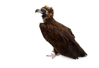 Cinereous vulture ( Aegypius monachus, known as the black vulture, monk vulture ) on a white background