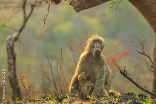 Chacma Baboon mum with baby, species Papio ursinus, sitting on the tree in nature forest Wallpaper Mural