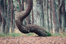 Dancing Pine, Curonian Spit, K...