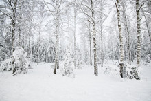 Snow-covered Forest, Birch Tre...