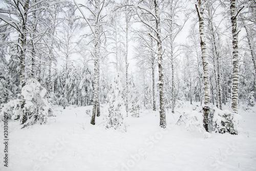 Foto-Leinwand ohne Rahmen - Snow-covered forest, birch trees close-up, Latvia (von Alex Stemmer)