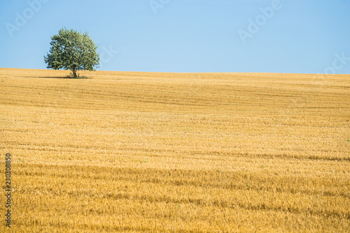 Panoramic view of the country agricultural field on a sunny day, a green tree close-up, Estonia