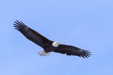American Bald Eagle In Flight ...