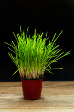 Bright Green Wheat Sprouts In A Pot On A Black Background. Potted Grass