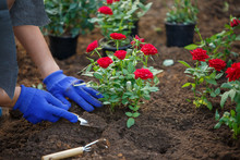 Photo Of Hands In Blue Gloves Of Agronomist Planting Red Roses In Garden