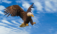 Bald Eagle On The Attack
